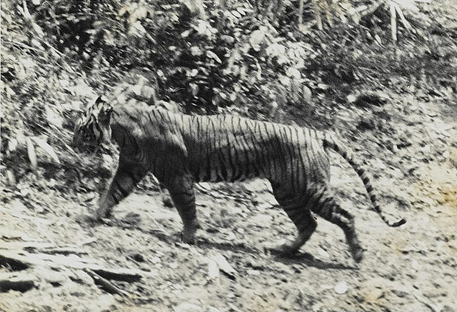Javan tiger - Panthera tigris sondaica