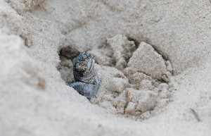 Sea Turtle information