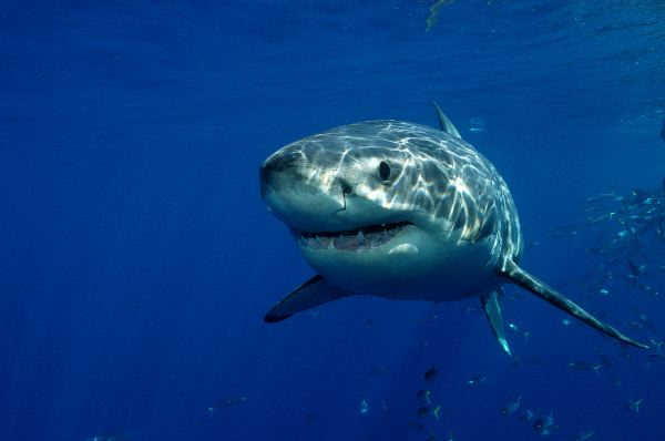 Great White Shark Information