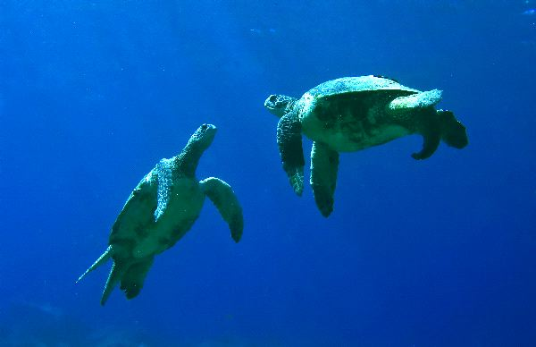 Green Sea Turtles - Chelonia mydas