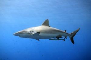 Grey Reef Shark - Carcharhinus amblyrhynchos