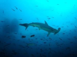 Hammerhead Shark Facts