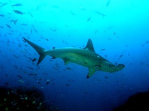Hammerhead Shark Information