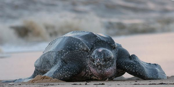 Leatherback Sea Turtle Information