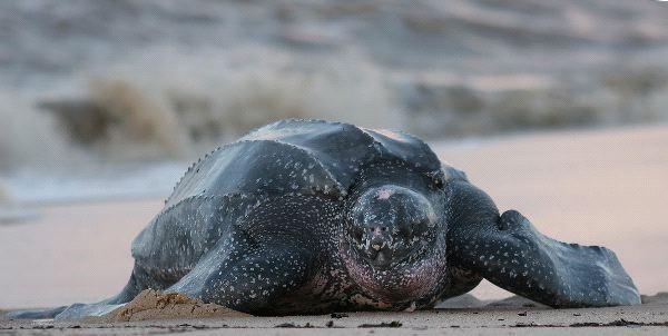 Leatherback Sea Turtle Information