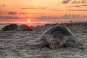 Olive ridley sea turtle - Lepidochelys olivacea