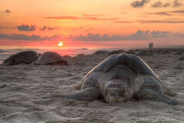 Olive ridley sea turtle Information