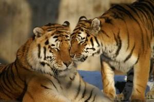 Tigers breeding