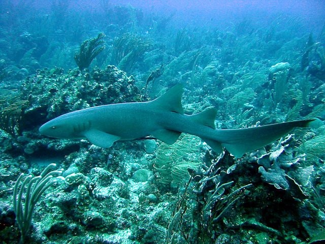 Nurse Shark - Facts and Information