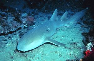 Nurse shark - Ginglymostoma cirratum
