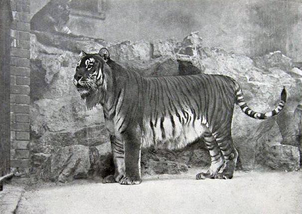 Caspian tiger - Panthera tigris virgata
