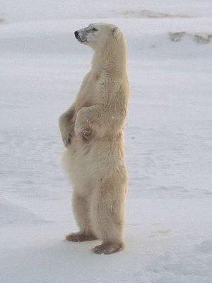 Polar Bear Standing