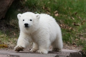 Polar Bear breeding