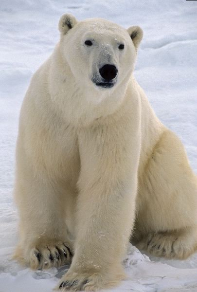 Polar Bear Anatomy Animal Facts And Information