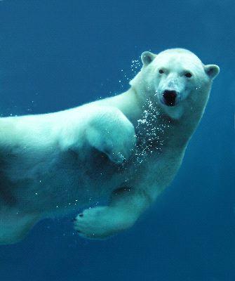 Polar Bear Underwater Close Up