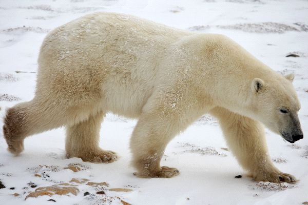 Polar Bear Anatomy - Animal Facts and Information