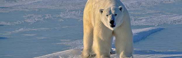 Polar Bear Conservation