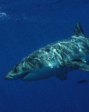 Sharks- Information