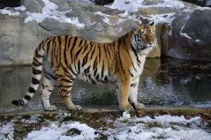 Tiger Characteristics