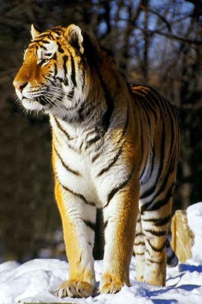 Tiger Habitat And Distribution Animal Facts And Information