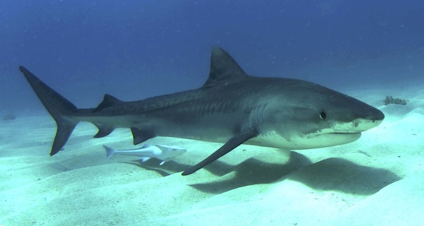 Tiger Shark information