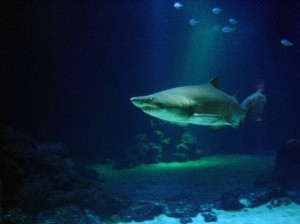 Tiger Shark Facts and Information