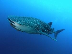 Whale Shark Information