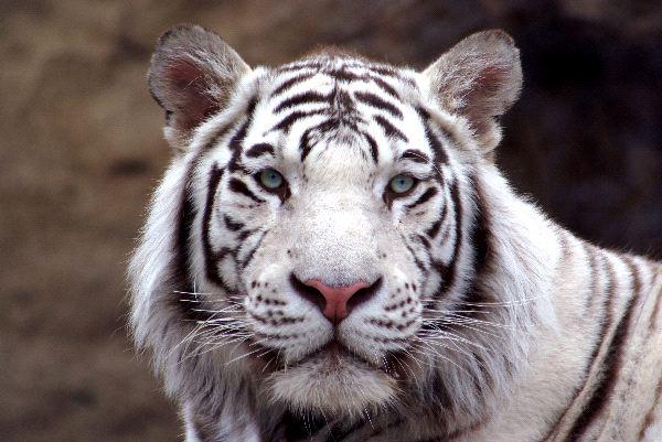 Tiger Hybrids