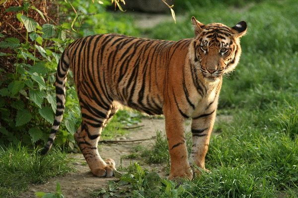 Sumatran Tiger Facts and Information