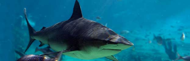 Bull Shark - Animal Facts and Information