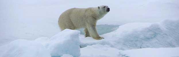 Polar Bear Habitat and Distribution