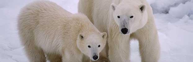 Polar Bear Reproduction