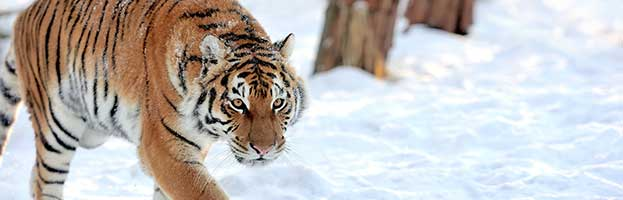 Tiger Taxonomy and Evolution