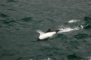 Commerson Dolphin - Cephalorhynchus commersonii