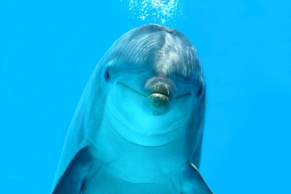 Dolphin Animal Facts And Information