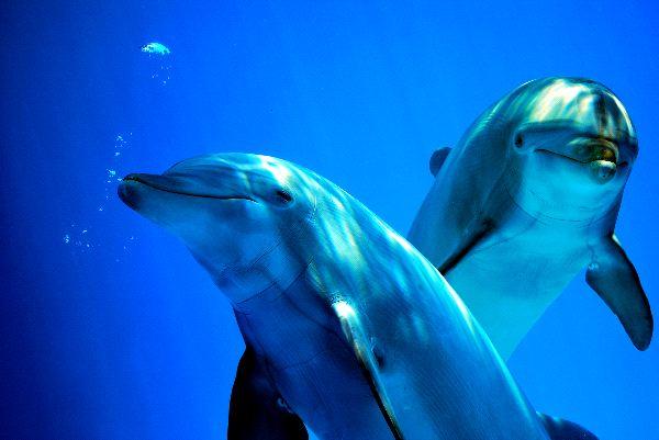 Bottlenose dolphin - Genus Tursiops