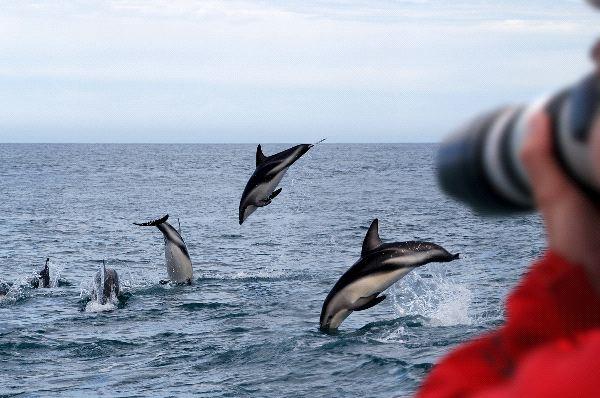 Dusky Dolphin Information
