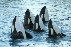 Killer Whale - Orcinus orca