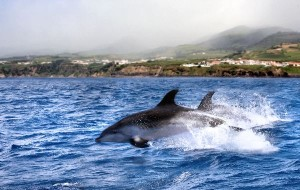 Jumping Cleymene Dolphins