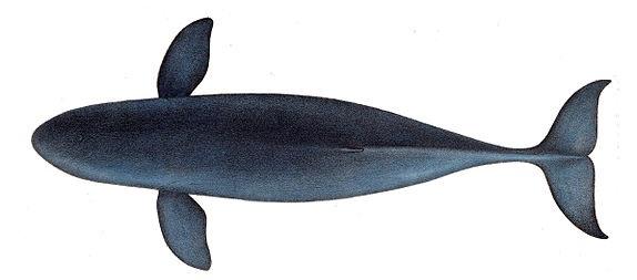Irrawaddy dolphin - Orcaella brevirostris
