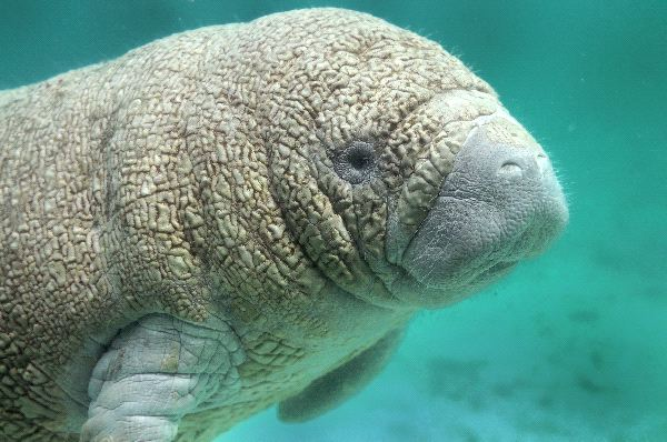 Manatee Physical Characteristics
