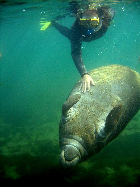 Manatee Behavior Facts