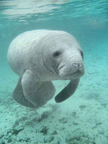 Manatee Anatomy Facts