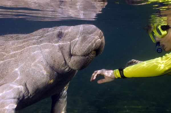 Manatee Communication Facts