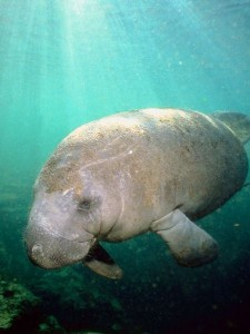Manatee Distribution Facts