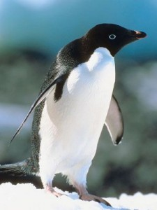 17 penguin species