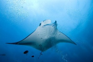 Manta Ray Anatomy Facts