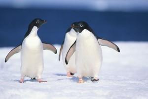 Adélie Penguin - Pygoscelis adeliae