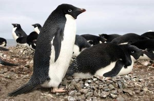 Adelie Penguin Facts