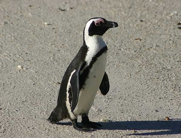 african penguin research paper Fine-feathered friends penguins in florida you bet there are 18 species of penguins in the world, with 5 being warm weather species that means that almost 1/3 of penguin species spend their time in warm weather, similar to florida, instead of the chilly antarctic.